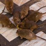 Дератизация уничтожение  серых и черных крыс, мышей